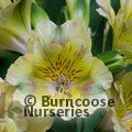 ALSTROEMERIA 'Princess Felicia'  