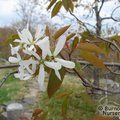 AMELANCHIER laevis  