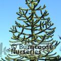 Small image of MONKEY PUZZLE - see ARAUCARIA