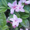 AZALEA - DECIDUOUS 'Antelope'  