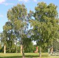 BETULA pendula  