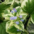 BRUNNERA macrophylla 'Variegata' 