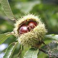 CASTANEA sativa  