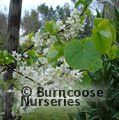 Small image of CERCIS