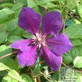CLEMATIS 'Gipsy Queen'  