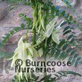 Small image of CLIANTHUS