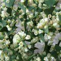 Small image of COLLETIA