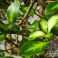 COPROSMA 'Beatson's Gold'  