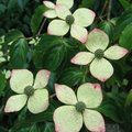 CORNUS kousa  