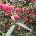 Small image of CRINODENDRON