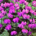 CYCLAMEN coum  