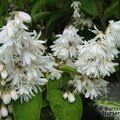 DEUTZIA   