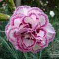 DIANTHUS 'Gran's Favourite'  