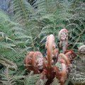 Small image of TREE FERN - see  DICKSONIA