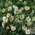 Small image of ERIGERON