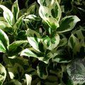 EUONYMUS fortunei 'Silver Queen' 