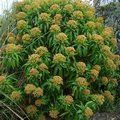 EUPHORBIA mellifera  