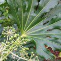 FATSIA japonica  