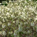 Small image of FOTHERGILLA