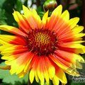 GAILLARDIA 'Kobold'  