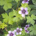GERANIUM 'Salome'  