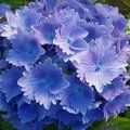 Hydrangeas  - Any 3 of these 3 for £35.00 inc c&p