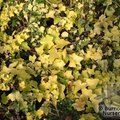 Small image of HEDERA