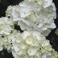 Photo of HYDRANGEA 'Mme E. Mouillere'