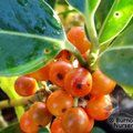 ILEX x altaclerensis 'Belgica Aurea' 