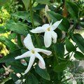 Jasminum polyanthum -  1 for £29.00, gift wrap, c&p included, a saving of £5.00
