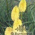 KNIPHOFIA 'Bees Lemon'  