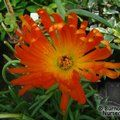 LAMPRANTHUS orange  