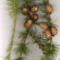 LARIX decidua  