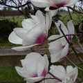 MAGNOLIA 'Athene'  
