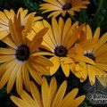 OSTEOSPERMUM   