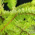 Small image of PICEA