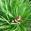 Small image of PINUS