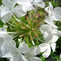 PLUMBAGO auriculata 'Alba' 