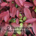 PSEUDOWINTERA colorata 'Red Glow' 