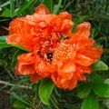 Small image of POMEGRANATE - see PUNICA