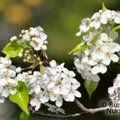 Small image of PYRUS