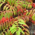 Small image of RHUS