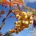SORBUS 'Joseph Rock'  