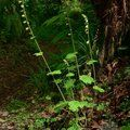 Small image of TELLIMA