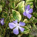Small image of VINCA