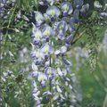 WISTERIA 'Lavender Lace'