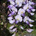 WISTERIA floribunda 'Russelliana'