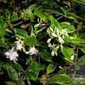ABELIA x grandiflora 'Hopleys Variety' 