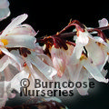 ABELIOPHYLLUM distichum 'Roseum' 