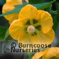 ABUTILON 'John Thompson'